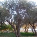 olivo11