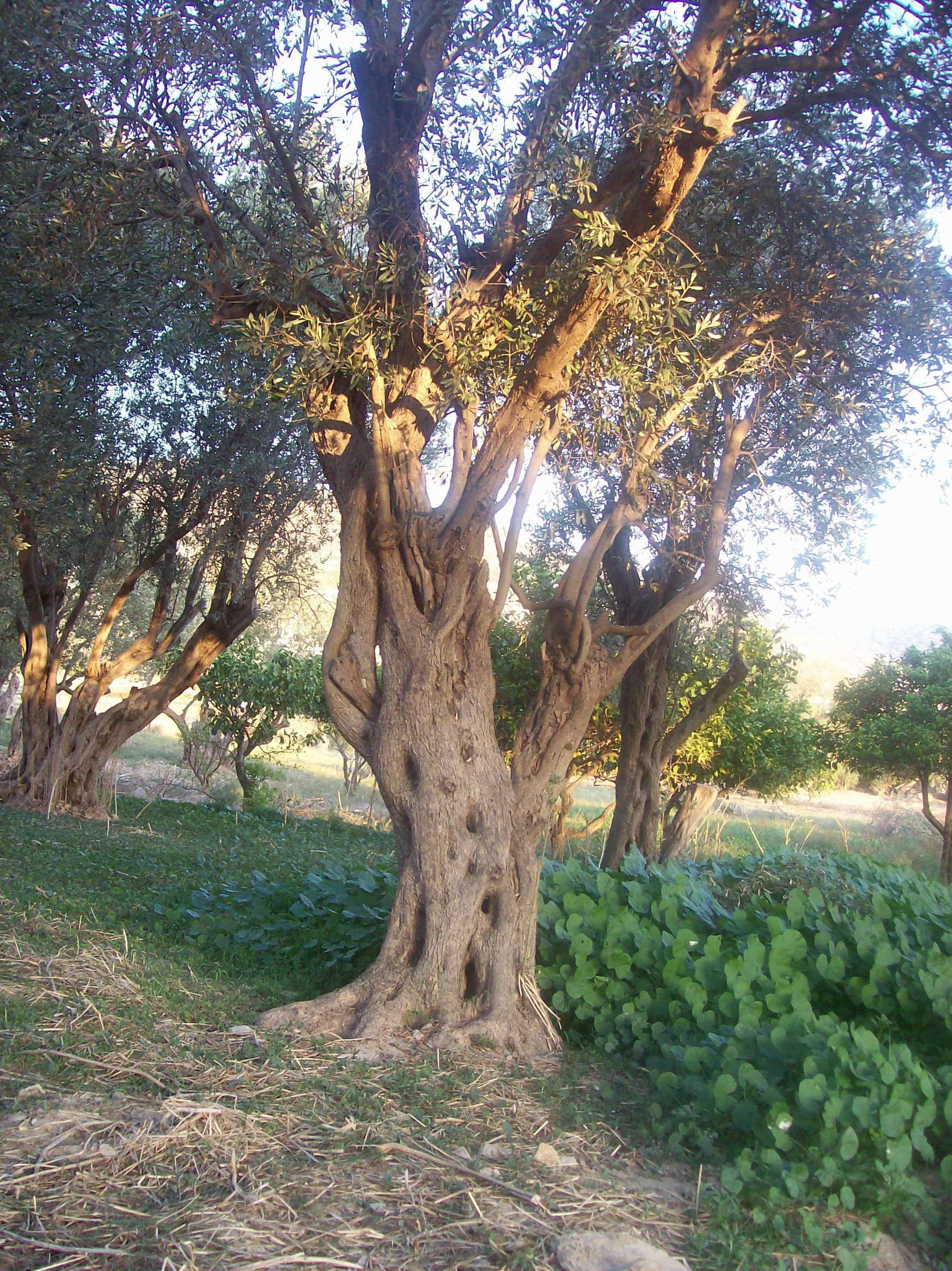 L 39 olivo in vaso for Aiuola con ulivo