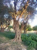 olivo3